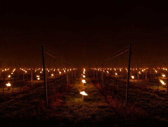 Nachtvorst Gloire de Duras